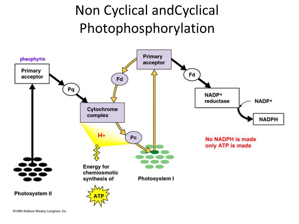 Non Cyclical andCyclical Photophosphorylation