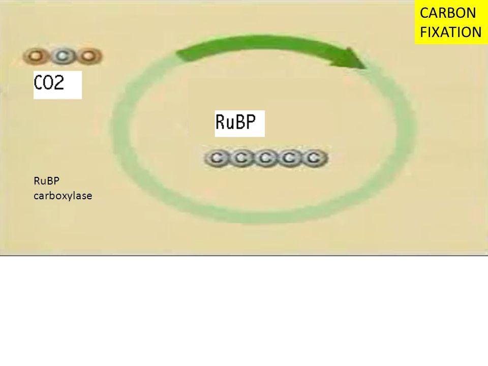 CARBON FIXATION RuBP carboxylase