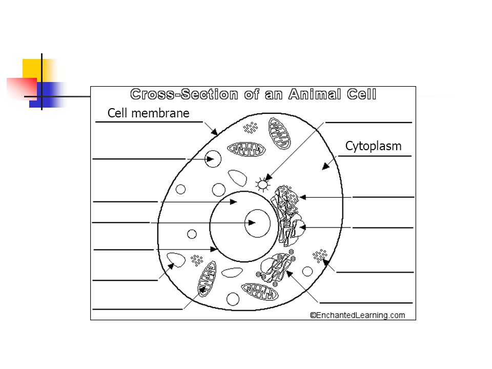 Cell membrane Cytoplasm