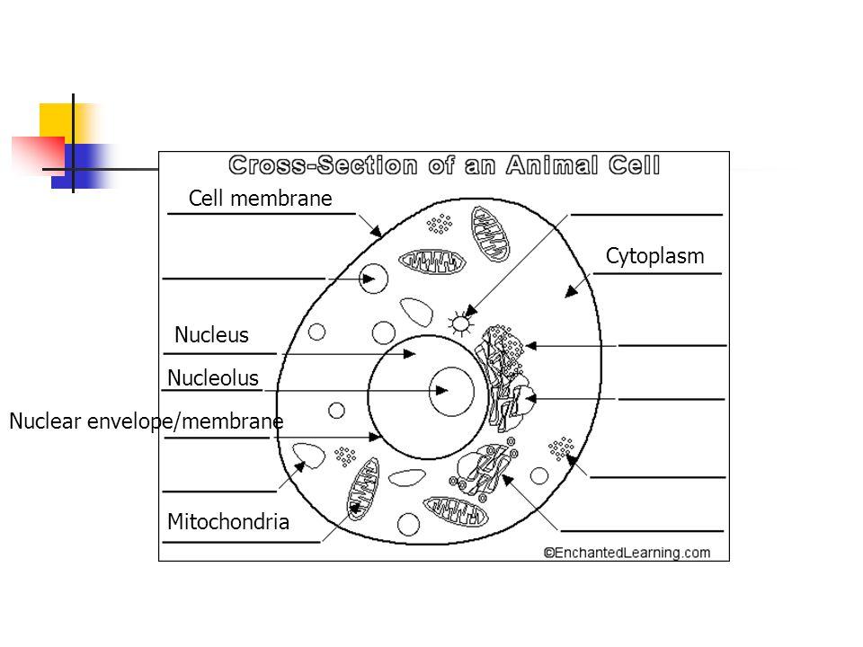 Cell membrane Cytoplasm Nucleus Nucleolus Nuclear envelope/membrane Mitochondria