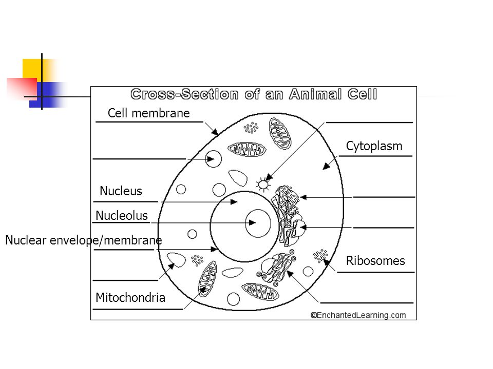 Cell membrane Cytoplasm Nucleus Nucleolus Nuclear envelope/membrane Ribosomes Mitochondria
