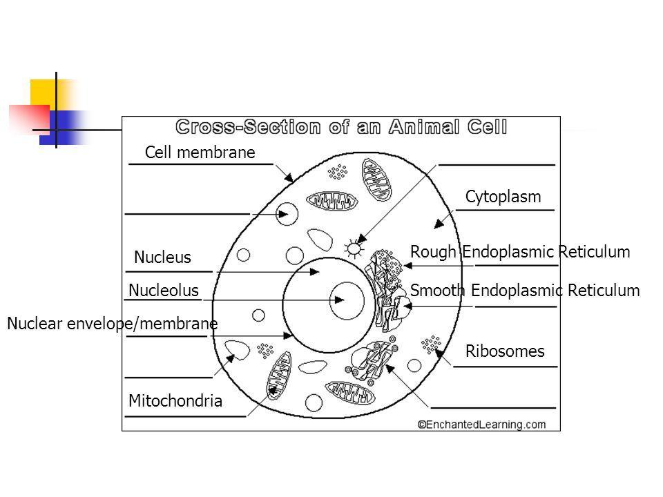 Cell membrane Cytoplasm. Rough Endoplasmic Reticulum. Nucleus. Nucleolus. Smooth Endoplasmic Reticulum.