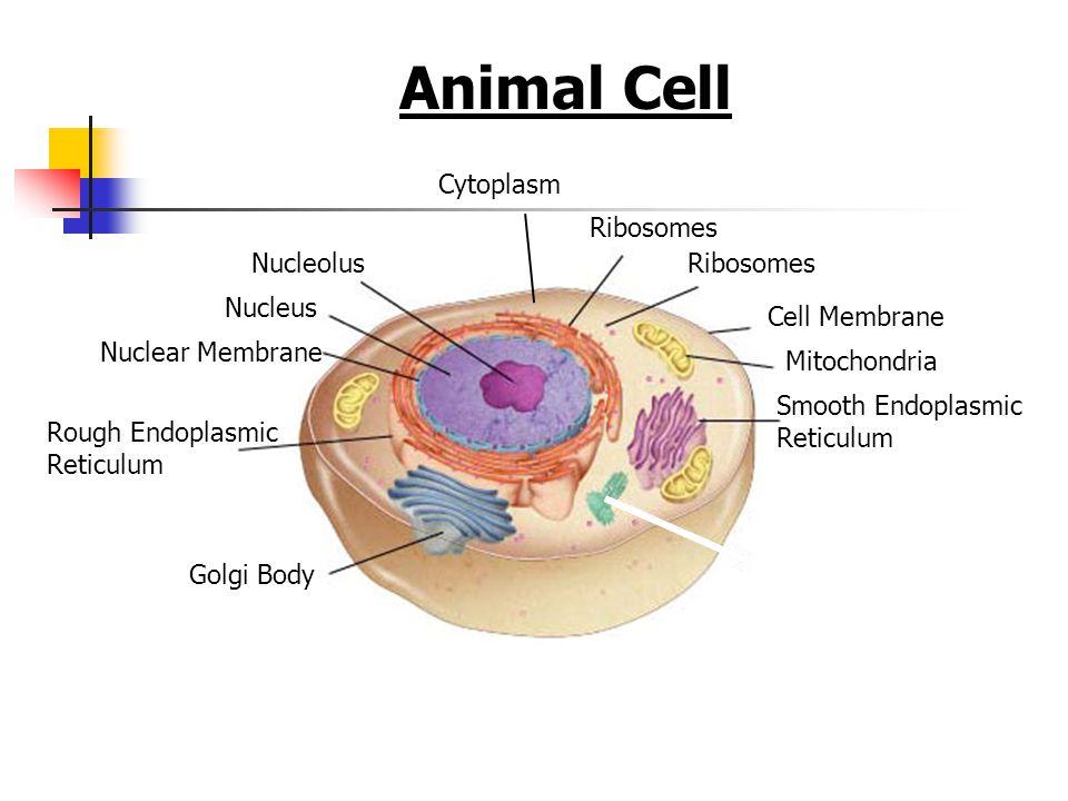 Animal Cell Figure 7-5 Plant and Animal Cells Cytoplasm Ribosomes