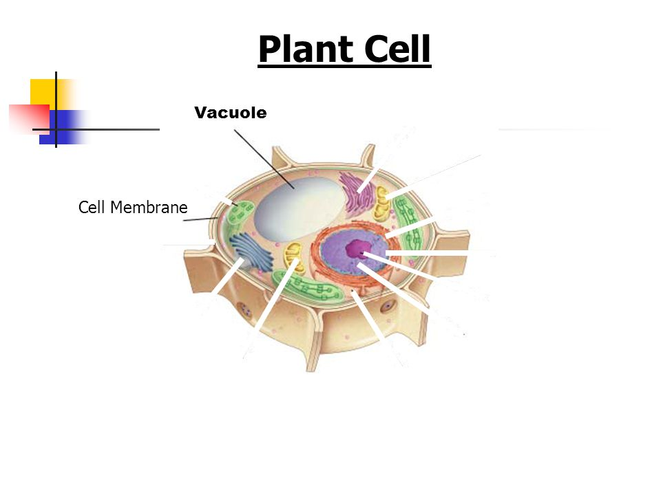 Plant Cell Figure 7-5 Plant and Animal Cells Vacuole Cell Membrane