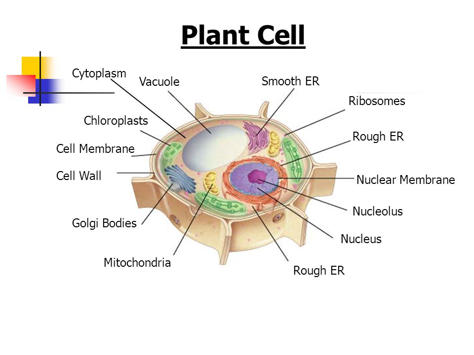 Plant Cell Cytoplasm Vacuole Smooth ER Ribosomes Chloroplasts Rough ER