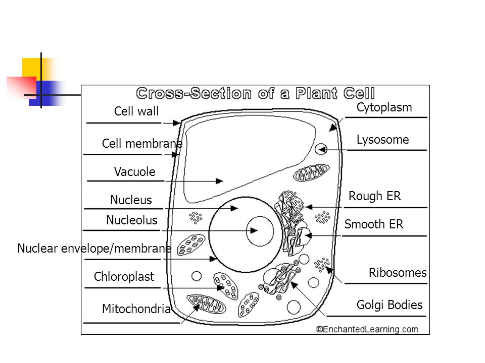 Cytoplasm Cell wall. Lysosome. Cell membrane. Vacuole. Rough ER. Nucleus. Nucleolus. Smooth ER.
