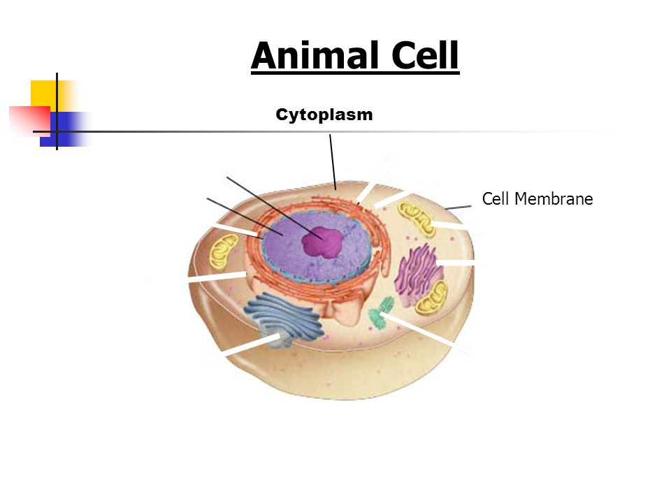 Animal Cell Figure 7-5 Plant and Animal Cells Cytoplasm Cell Membrane