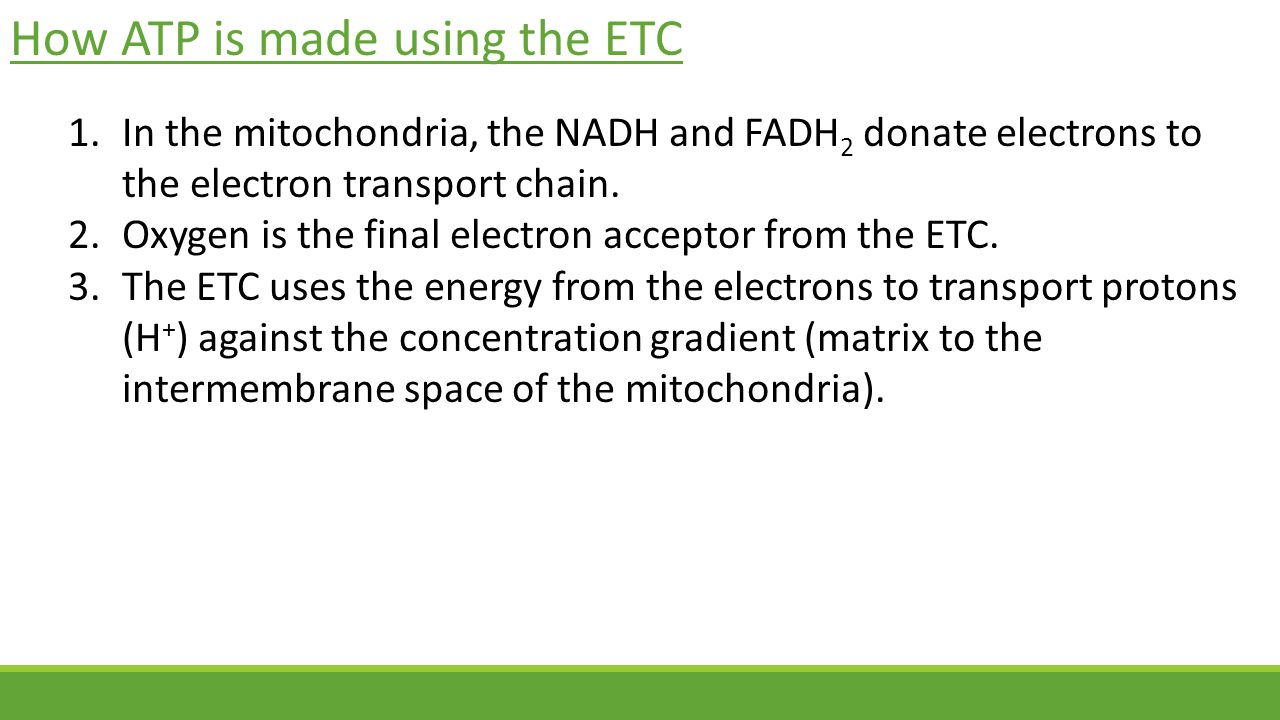 How ATP is made using the ETC