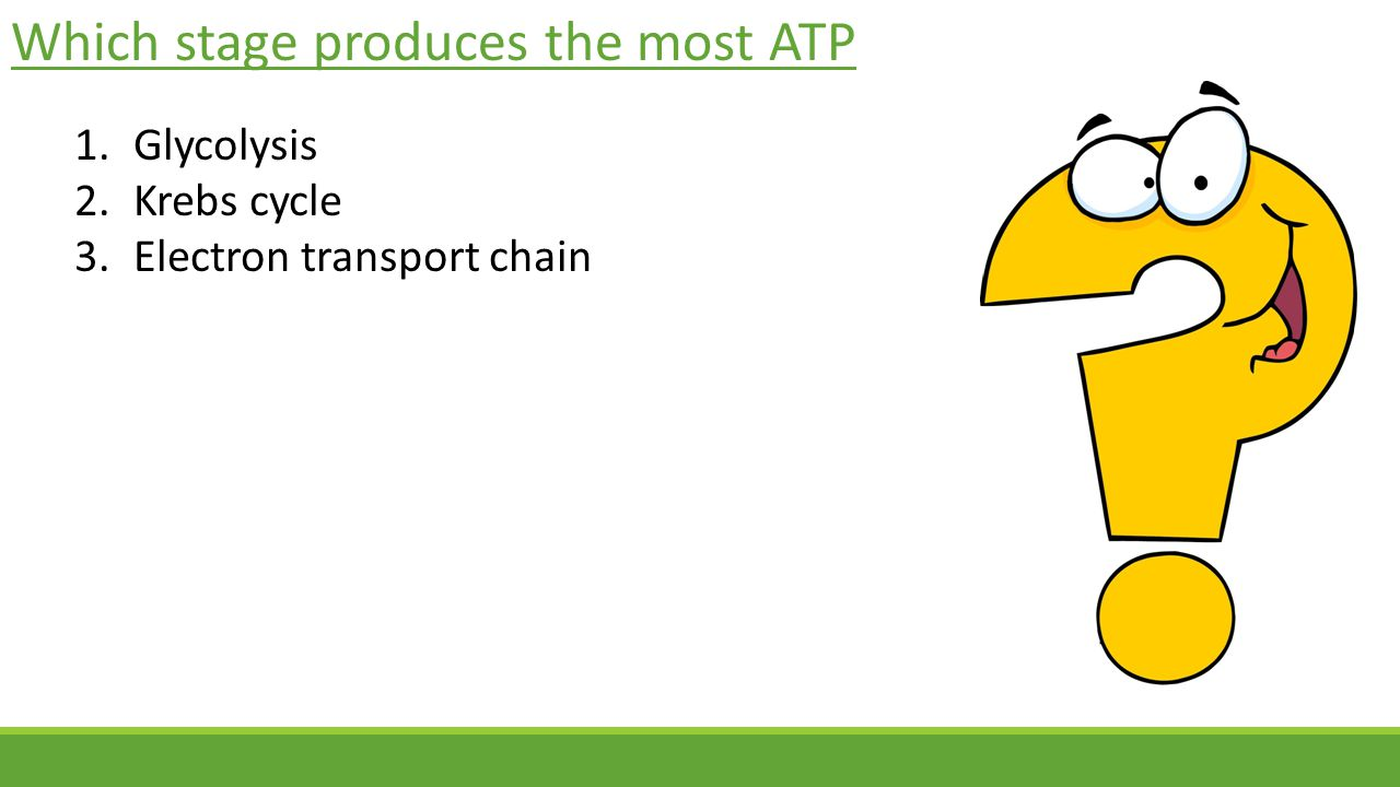 Which stage produces the most ATP