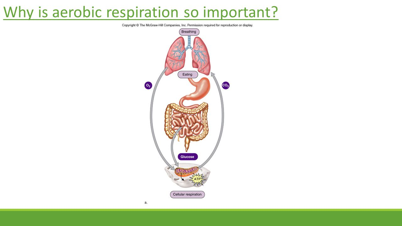Why is aerobic respiration so important