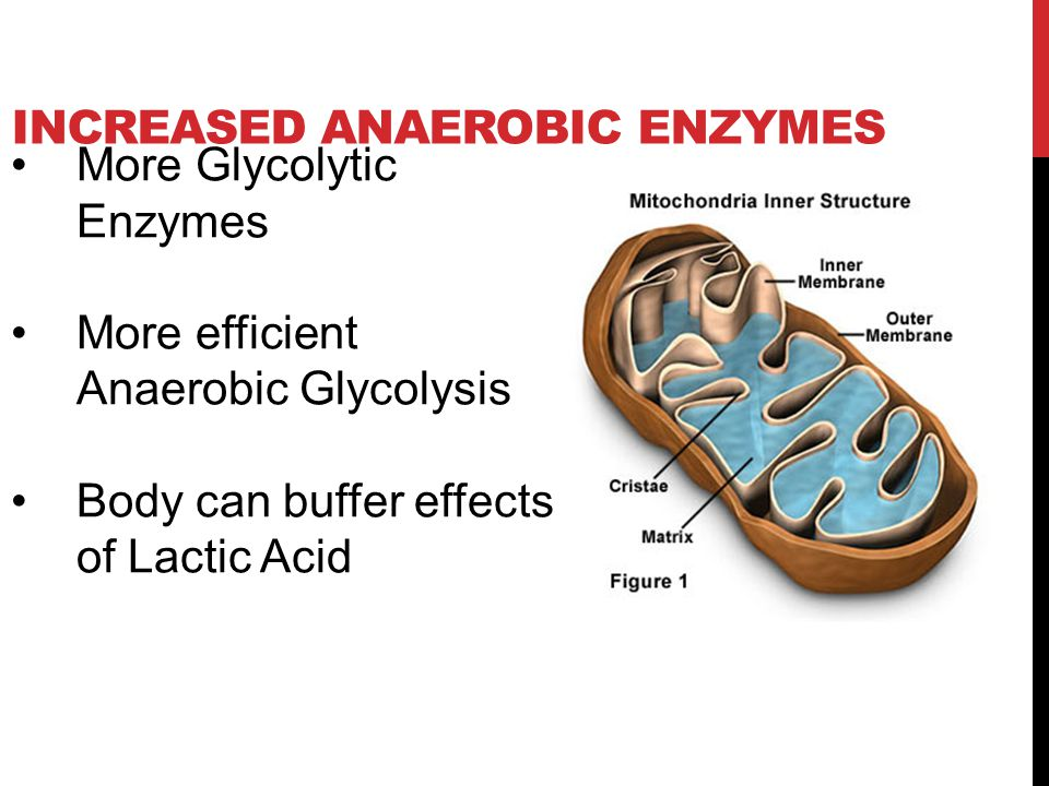 Increased Anaerobic enzymes
