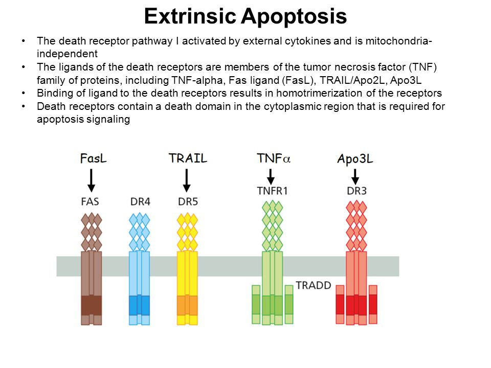 Extrinsic Apoptosis The death receptor pathway I activated by external cytokines and is mitochondria-independent.