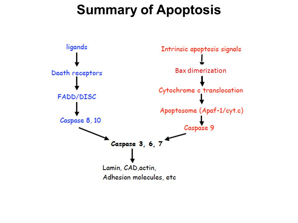 Summary of Apoptosis Bax dimerization