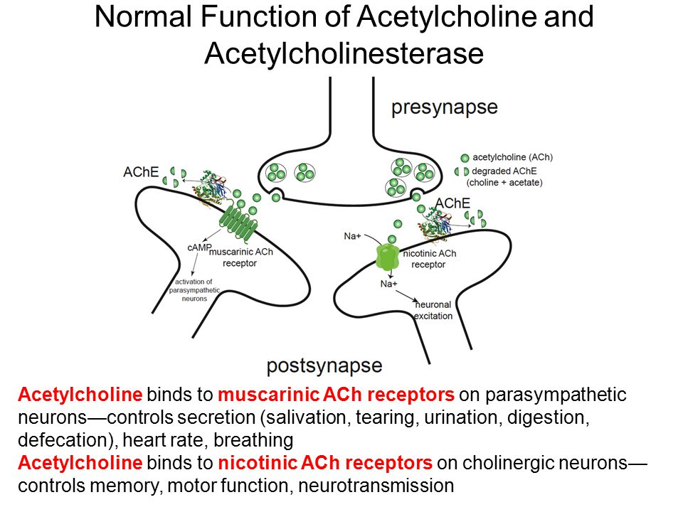 Normal Function of Acetylcholine and Acetylcholinesterase