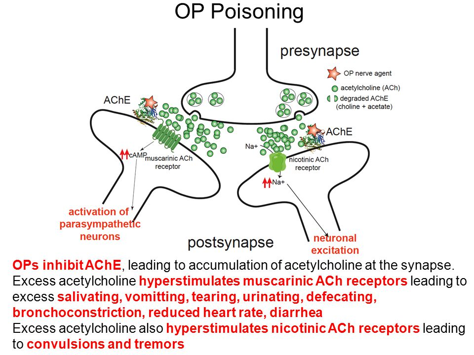 OP Poisoning OPs inhibit AChE, leading to accumulation of acetylcholine at the synapse.