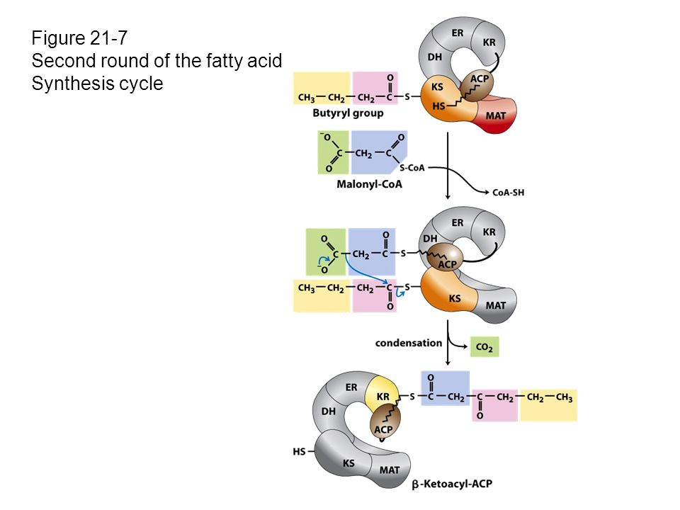 Figure 21-7 Second round of the fatty acid Synthesis cycle