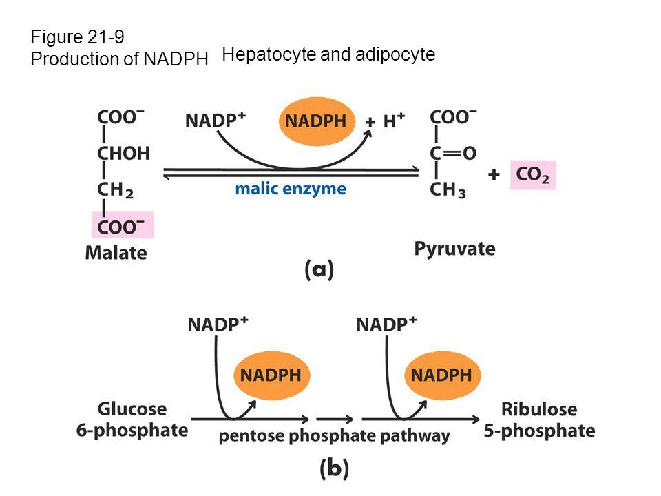 Figure 21-9 Production of NADPH Hepatocyte and adipocyte