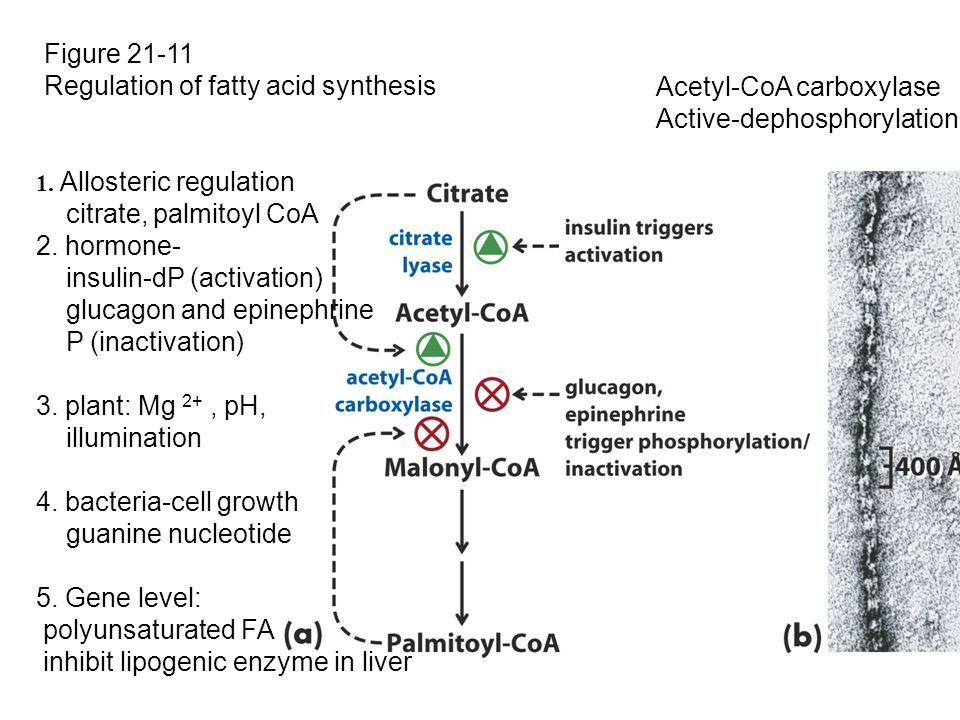 Regulation of fatty acid synthesis Acetyl-CoA carboxylase