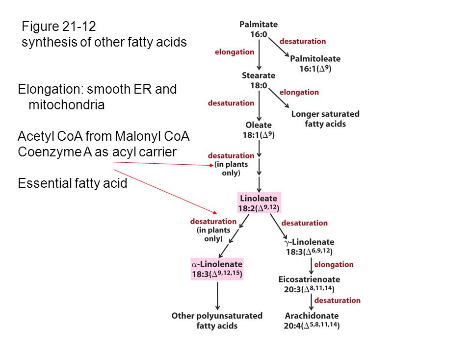 Figure 21-12 synthesis of other fatty acids. Elongation: smooth ER and. mitochondria. Acetyl CoA from Malonyl CoA.