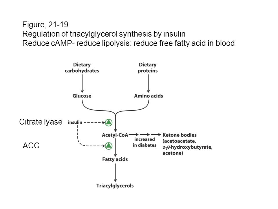 Figure, 21-19 Regulation of triacylglycerol synthesis by insulin. Reduce cAMP- reduce lipolysis: reduce free fatty acid in blood.