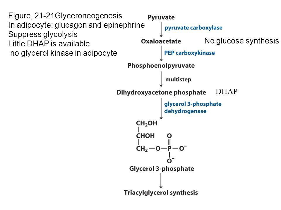 Figure, 21-21Glyceroneogenesis