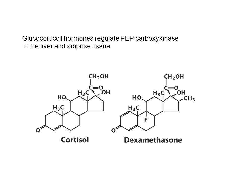 Glucocorticoil hormones regulate PEP carboxykinase