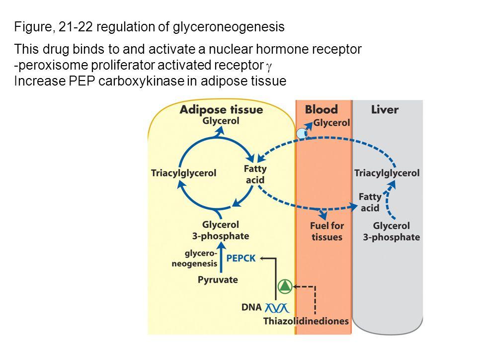 Figure, 21-22 regulation of glyceroneogenesis