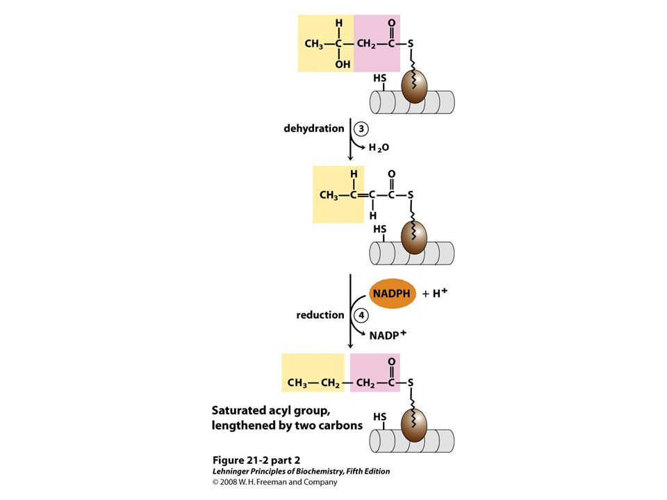 FIGURE 21-2 (part 2) Addition of two carbons to a growing fatty acyl chain: a four-step sequence. Each malonyl group and acetyl (or longer acyl) group is activated by a thioester that links it to fatty acid synthase, a multienzyme system described later in the text. 1 Condensation of an activated acyl group (an acetyl group from acetyl-CoA is the first acyl group) and two carbons derived from malonyl-CoA, with elimination of CO2 from the malonyl group, extends the acyl chain by two carbons. The mechanism of the first step of this reaction is given to illustrate the role of decarboxylation in facilitating condensation. The β-keto product of this condensation is then reduced in three more steps nearly identical to the reactions of β oxidation, but in the reverse sequence: 2 the β-keto group is reduced to an alcohol, 3 elimination of H2O creates a double bond, and 4 the double bond is reduced to form the corresponding saturated fatty acyl group.