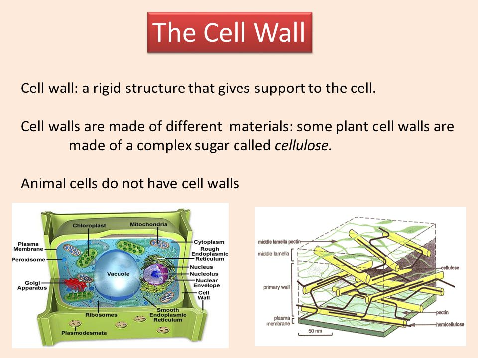 The Cell Wall Cell wall: a rigid structure that gives support to the cell. Cell walls are made of different materials: some plant cell walls are.