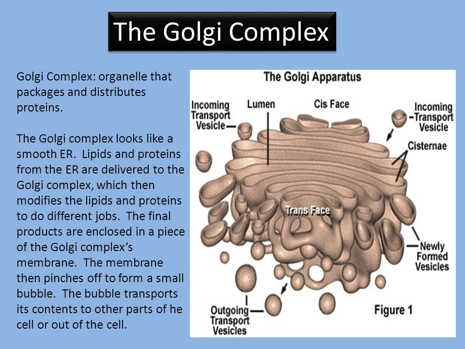 The Golgi Complex Golgi Complex: organelle that packages and distributes proteins.