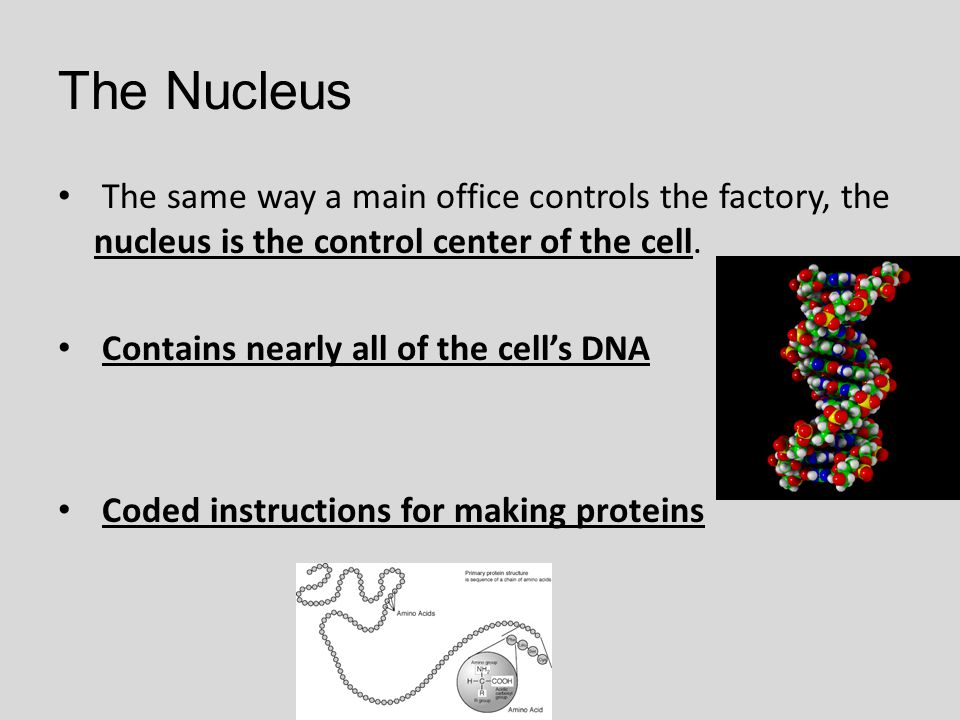 The Nucleus The same way a main office controls the factory, the nucleus is the control center of the cell.