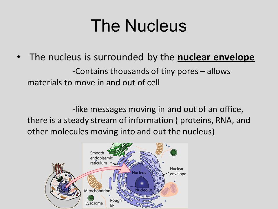 The Nucleus The nucleus is surrounded by the nuclear envelope