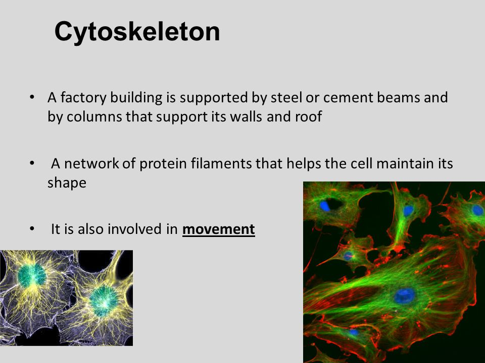 Cytoskeleton A factory building is supported by steel or cement beams and by columns that support its walls and roof.