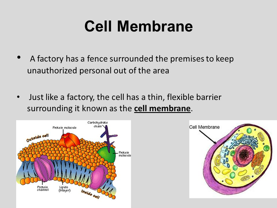 Cell Membrane A factory has a fence surrounded the premises to keep unauthorized personal out of the area.