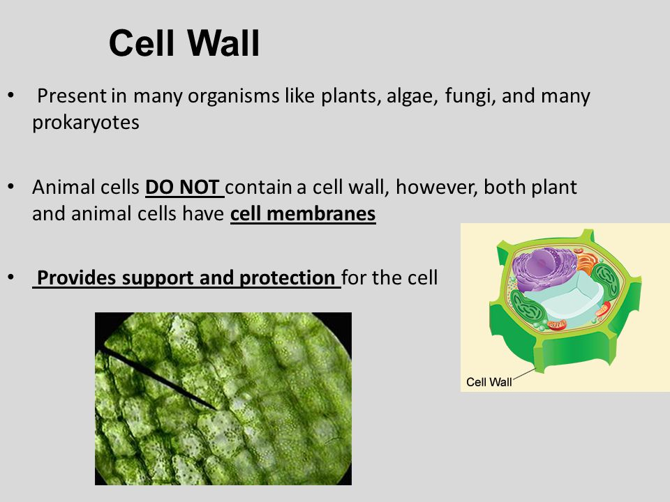 Cell Wall Present in many organisms like plants, algae, fungi, and many prokaryotes.