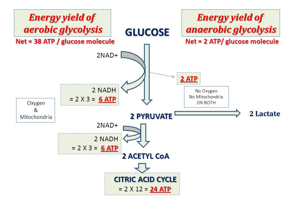 GLUCOSE Energy yield of aerobic glycolysis Energy yield of