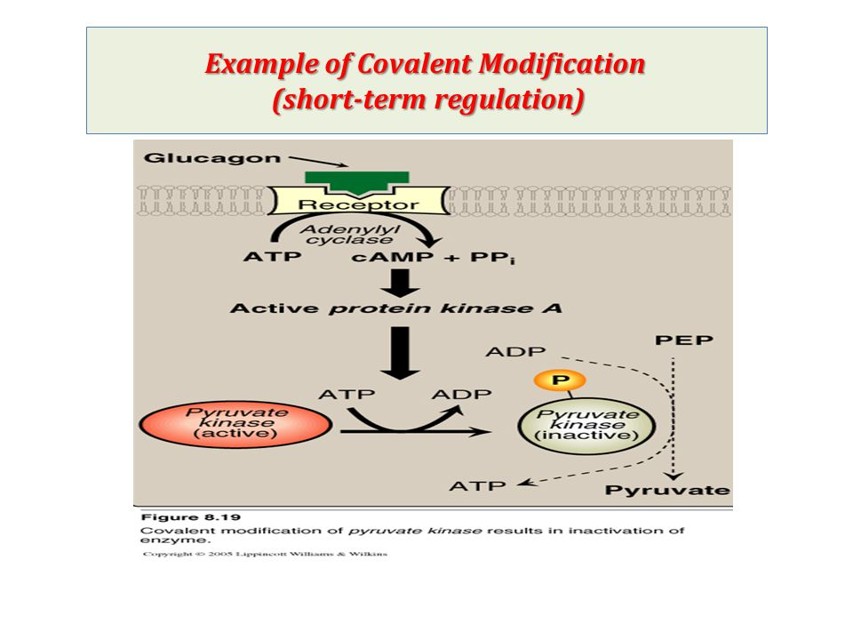 Example of Covalent Modification (short-term regulation)
