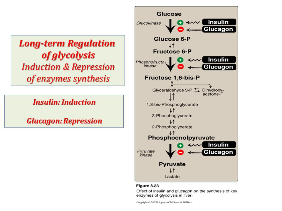 Long-term Regulation of glycolysis Induction & Repression of enzymes synthesis