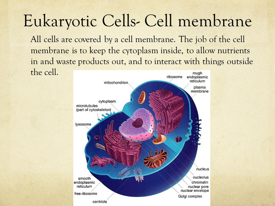 Eukaryotic Cells- Cell membrane