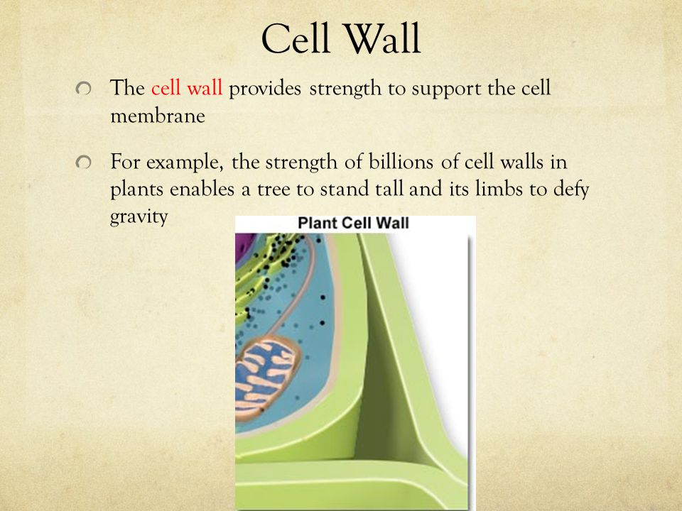 Cell Wall The cell wall provides strength to support the cell membrane