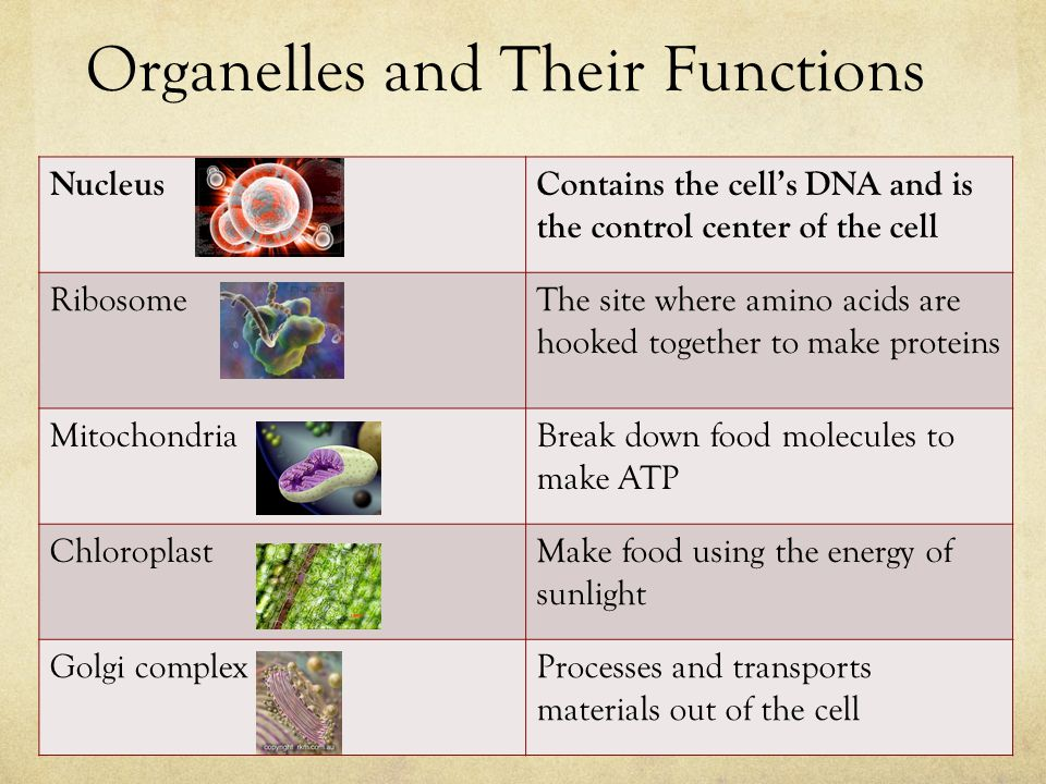 Organelles and Their Functions