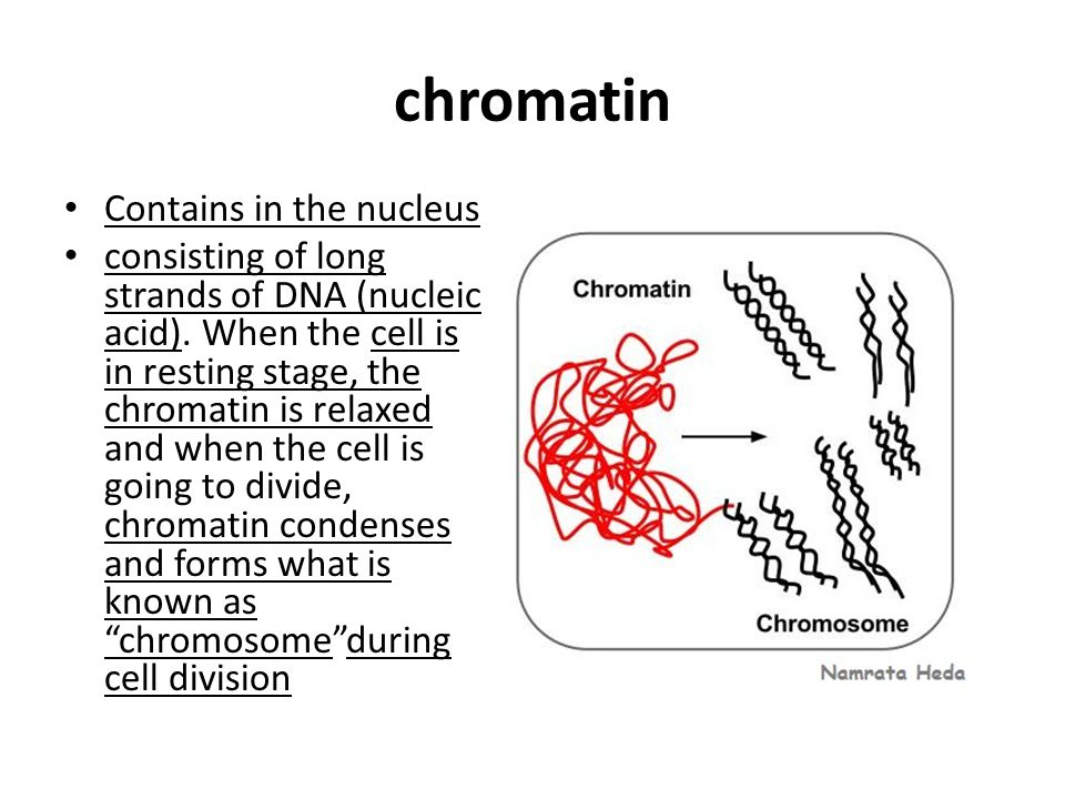 chromatin Contains in the nucleus