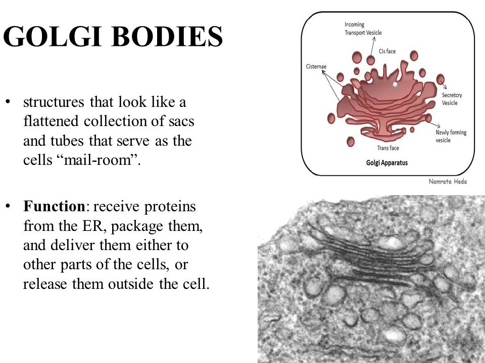 GOLGI BODIES structures that look like a flattened collection of sacs and tubes that serve as the cells mail-room .
