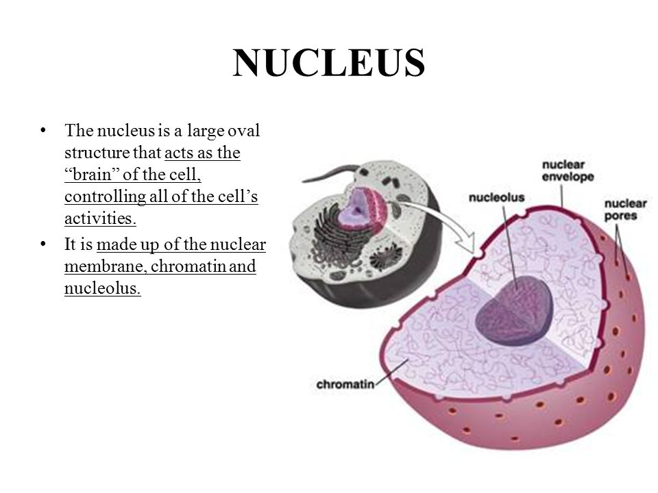 NUCLEUS The nucleus is a large oval structure that acts as the brain of the cell, controlling all of the cell's activities.