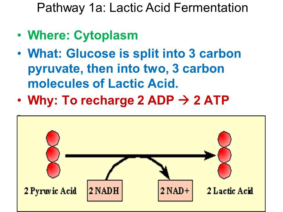 Pathway 1a: Lactic Acid Fermentation