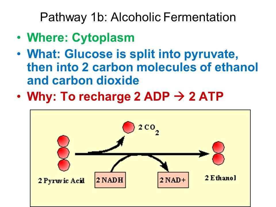 Pathway 1b: Alcoholic Fermentation