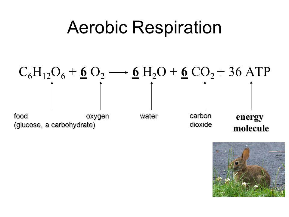 Aerobic Respiration C6H12O6 + 6 O2 6 H2O + 6 CO2 + 36 ATP food