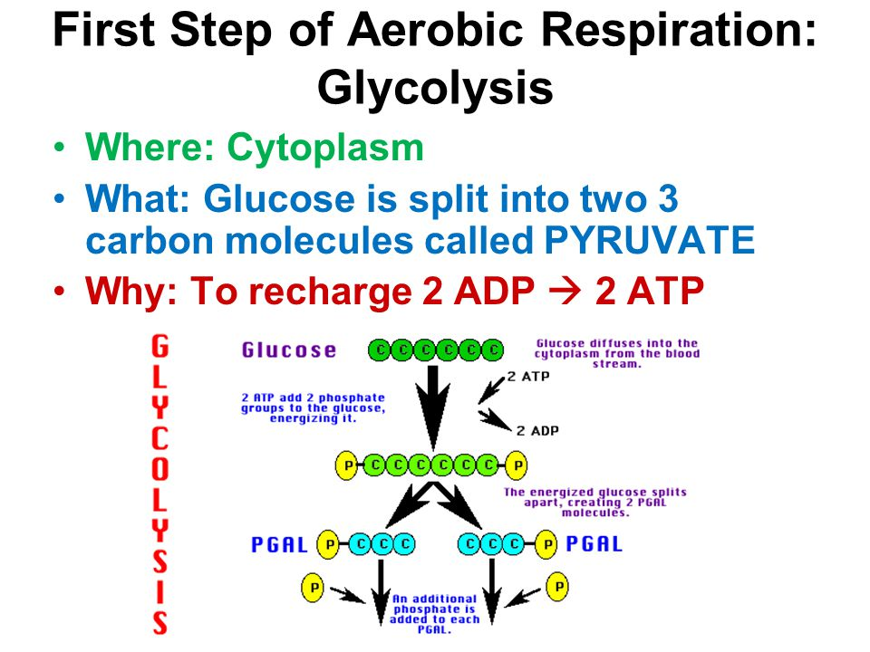 First Step of Aerobic Respiration: Glycolysis