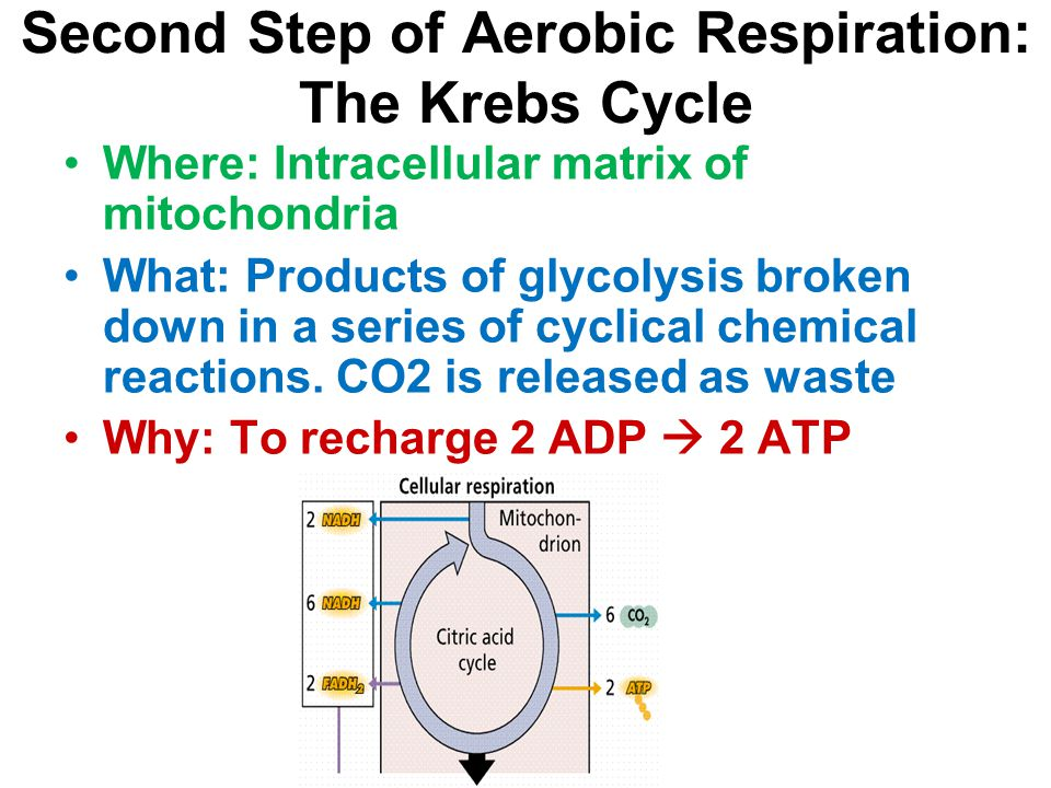 Second Step of Aerobic Respiration: The Krebs Cycle