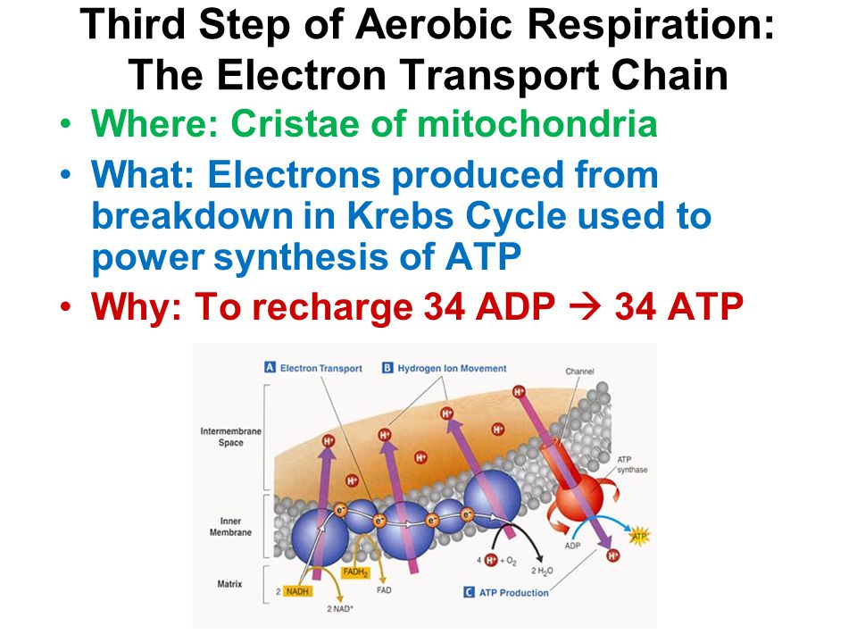 Third Step of Aerobic Respiration: The Electron Transport Chain